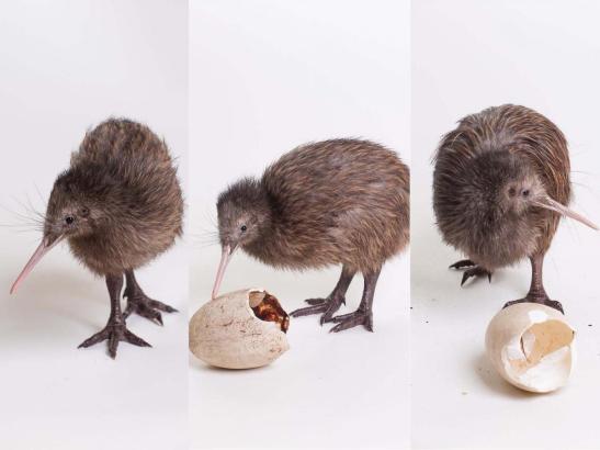 kiwi_collage.jpg